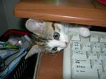 パソコンの隙間に子猫かわいい画像