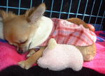 チワワ子犬の寝顔かわいい画像