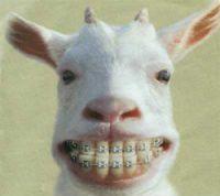 ヤギ歯矯正面白画像