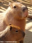 カピパラかわいい動物写真画像
