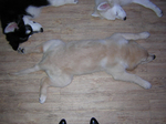 変な寝方犬おもしろ画像