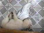 足の匂いフェチ子犬面白画像