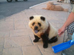 パンダ模様の犬おもしろ画像