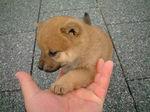 かわいい柴犬お手写真