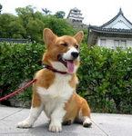 コーギー犬ウィンクおもしろ画像