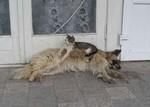 犬の上でくつろぐ猫写真