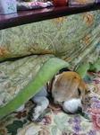 コタツで寝るビーグル犬かわいい画像