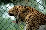 眠い豹のあくび顔
